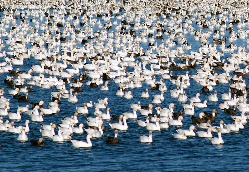 A flock of snow geese in central Nebraska