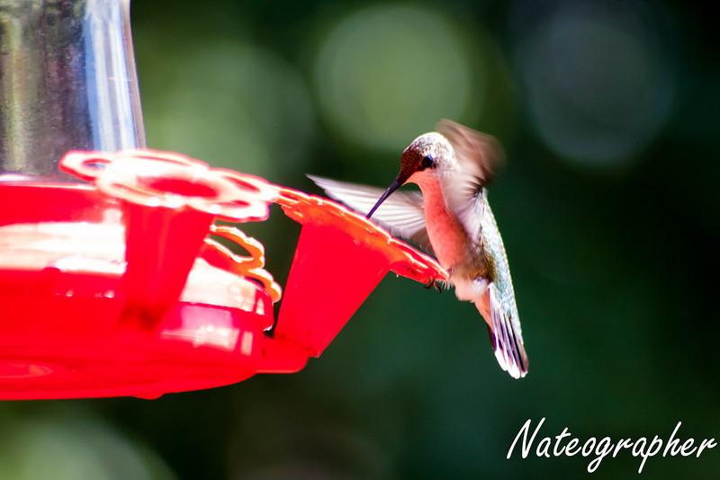 HummingBirds-4218.jpg