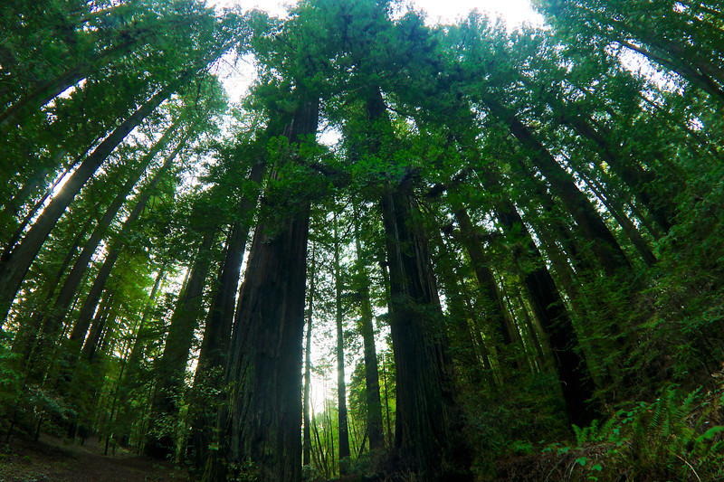 Towering redwood trees - Valley of the Giants Northern California ref : c60f2996-389c-4b5a-ae7d-d615d60cb958