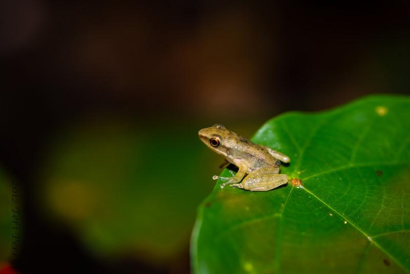 FROG - tiny tree frog?-0725.jpg