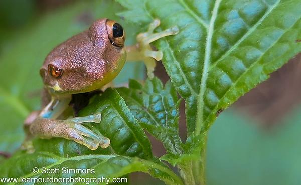 Amphibians (Amphibia)