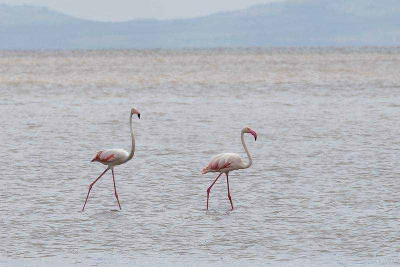 Lake Manyara flamingoes-2003.jpg