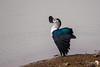 Comb Duck Display