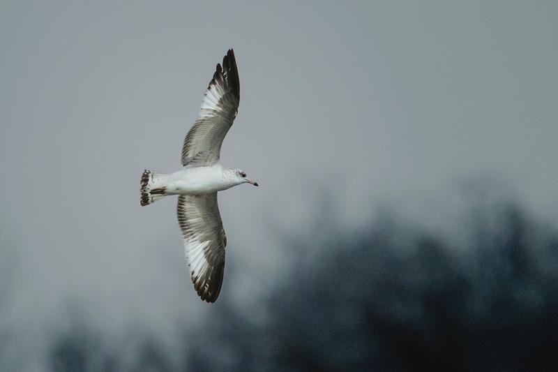 2.21.18 - Prairie Creek Marina: First Winter (juvenile) Ring-billed Gull.
