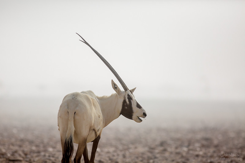 Arabian Oryx (57).jpg
