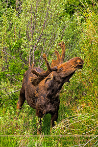 Bullmoose in Velvet Nibbling Tender Willow Shoots on the Banks of the Snake River, Grand Tetons