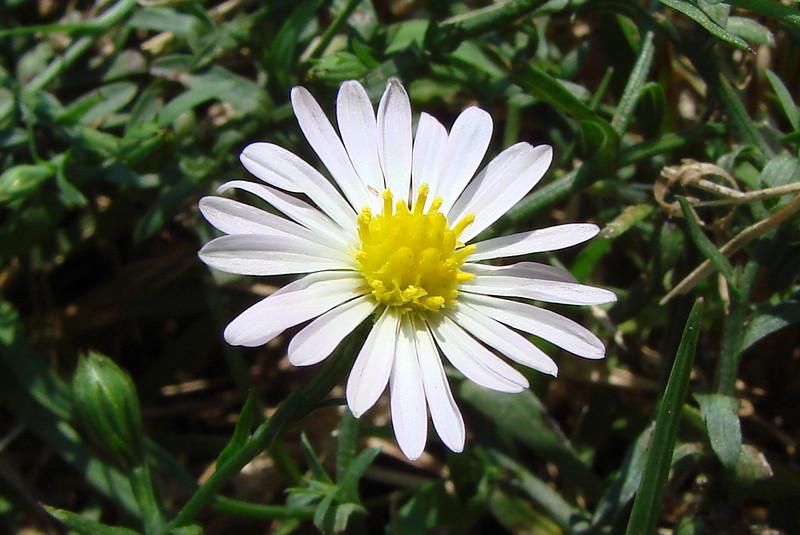 Aster subulatus / Annual Aster (annual, Texas native) 9/22/07