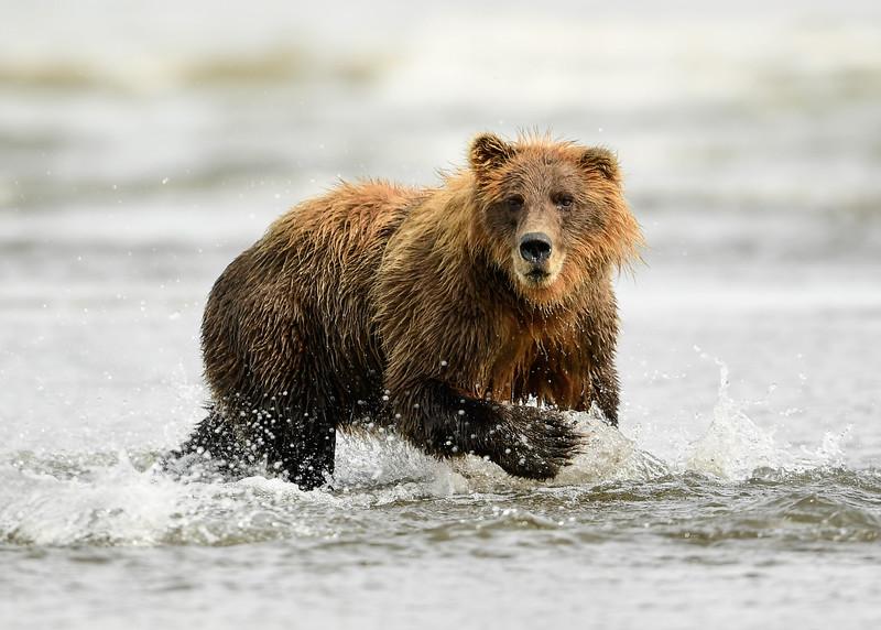 Alaska Brown Bear