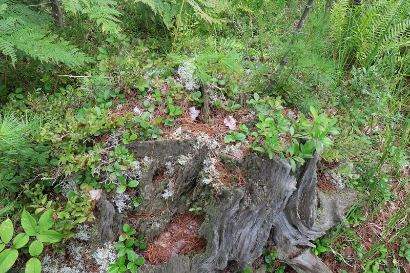 """""""Ecosystem"""" on a tree trunk on path. to Bullet Pond"""
