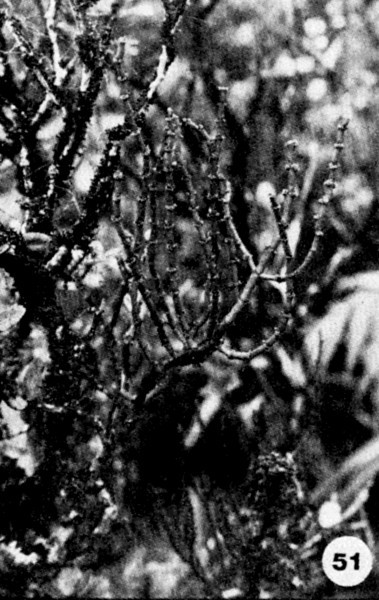 51. Korthalsella cylindrica Image from the Kaala Bog Plant Guide: Kaala Natural Area Reserve, Mt. Kaala, Oahu, a 1992 publication of the State of Hawaii (DLNR/DOFAW) .