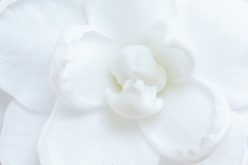 'White By The Gate' camellia (Camellia japonica)