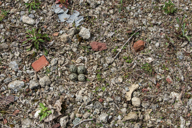 224-4-eggs-killdeer-widerarea4.14.jpg