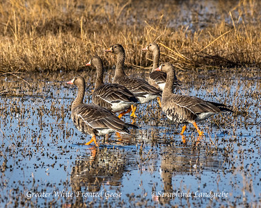 GEESE Snow & Ross & Greater White-fronted & Canada