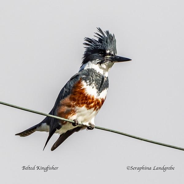 _DSC7852Best Belted Kingfisher.jpg