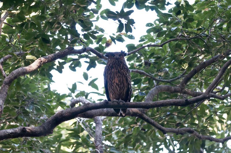 Eagle-Owl (?)