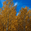 Poplar Autumn