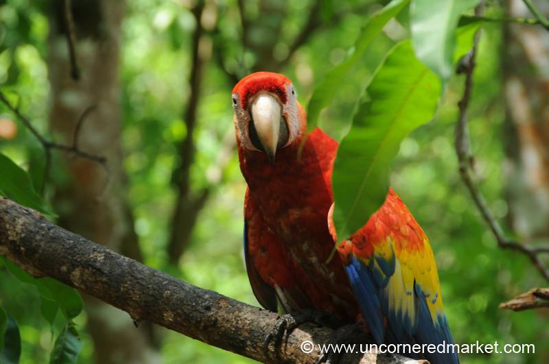 Colorful Macaw at Mayan Ruins - Copan Ruinas, Honduras