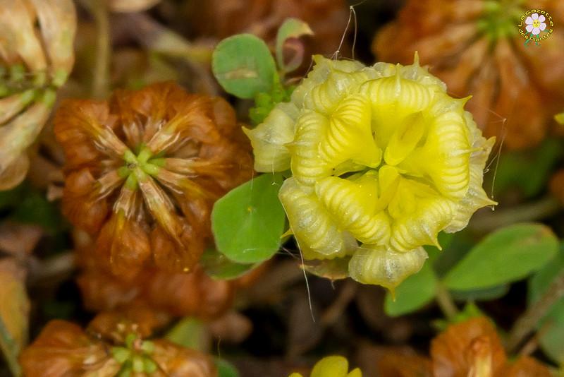 Trèfle champêtre (Trifolium campestre)