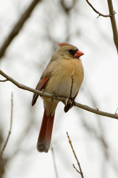 Cardinal (f) - 9796