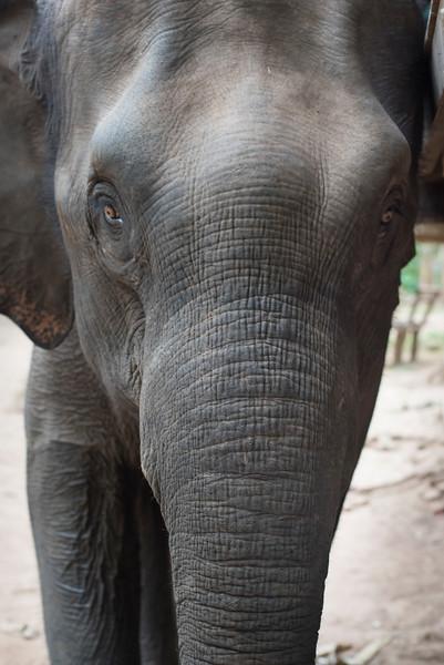 Front view of an elephant, Tad Sae Waterfall, Luang Prabang, Laos
