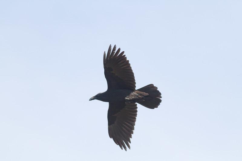 Common Raven in flight over Hawk Ridge Bird Observatory Duluth MN IMG_0250.jpg