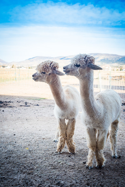 wlc Corinna Porter Alpacas5November 19, 2016-2.jpg