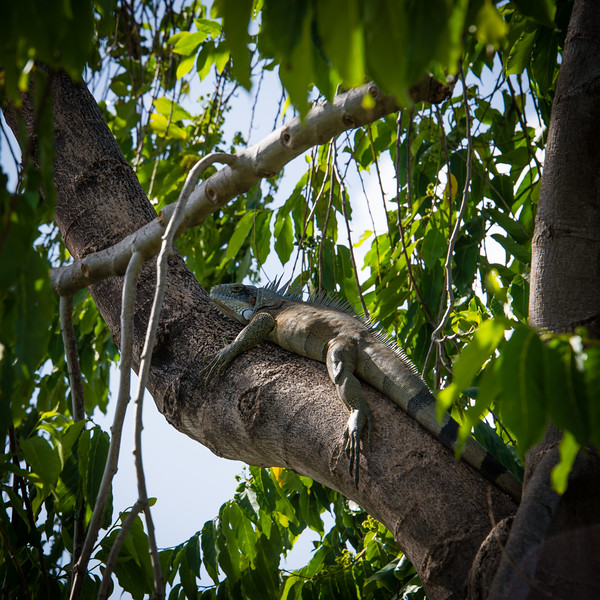 This guy was huge and the branch super high. No idea how long it took him to get up there. Just chilling in Grenada.