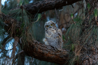Great Horned Owls (2019)