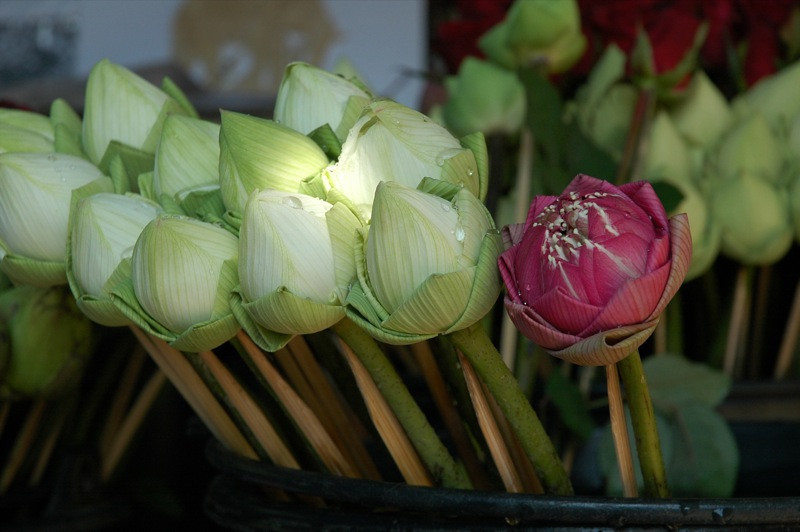 Temple Lotus Flowers - Chiang Mai, Thailand