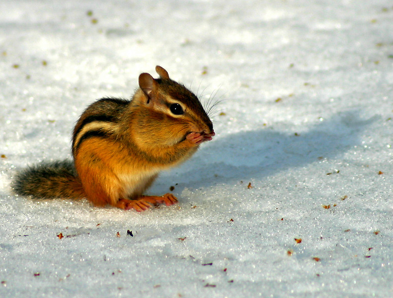 Chipmunk on ice