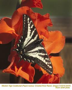 Western Tiger Swallowtail 24478.jpg