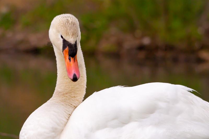 mute swan signed-24.JPG