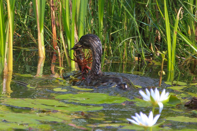 zzAnahuac 8-31-14 339A, Pied-billed Grebe with Crawfish SMALL.jpg