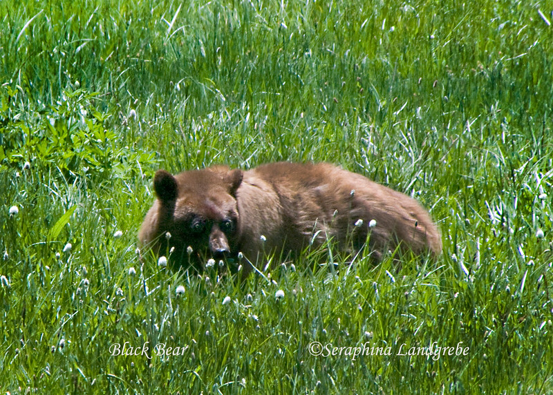 _DSC1409Bear in wildflowersB.jpg