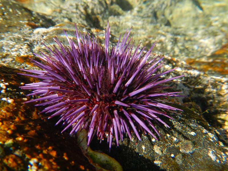 Purple Sea Urchin (Strongylocentrotus purpuratus)
