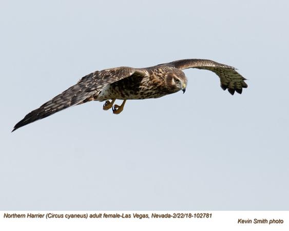 Northern Harrier F102781.jpg