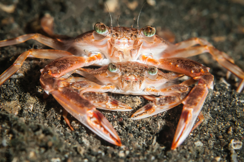 crab mating-9882.jpg