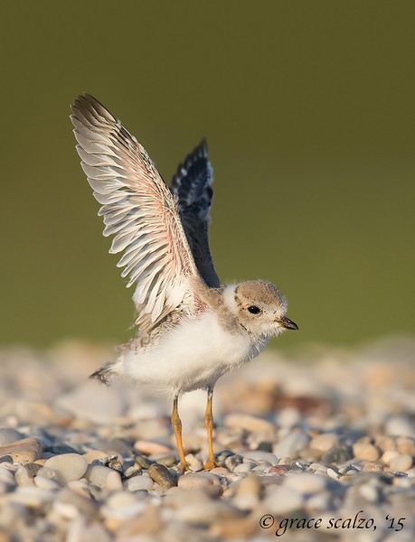 Piping Plover Fledgling Leap