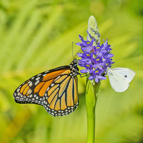 Monarch and Cabbage White Butterflies on Pickerel Rush Flower
