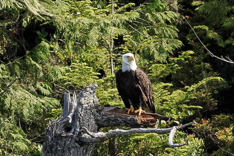 Bald Eagle-1506.jpg