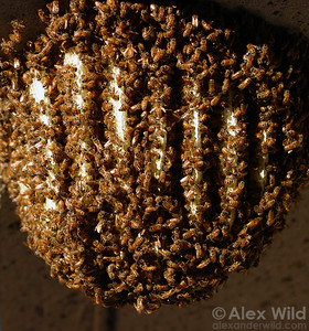 In warmer climates, honey bees (Apis mellifera) will sometimes construct their nests out in the open.    Davis, California, USA