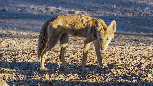 Coyote at Dusk