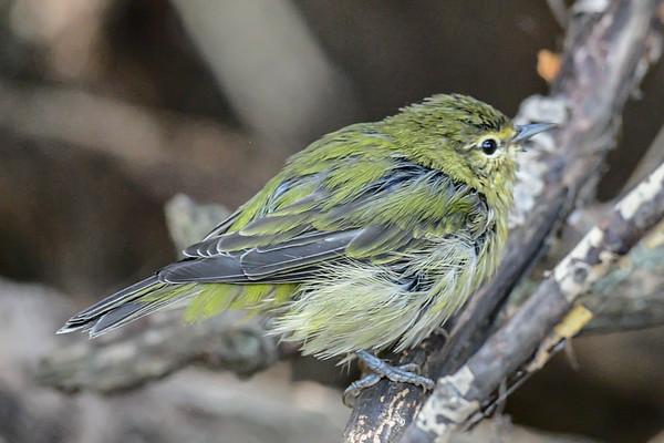 8-31-16 *^Tennessee Warbler