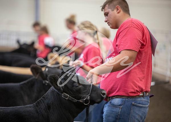 Feeder Calves