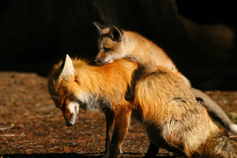 Red fox kit and dad