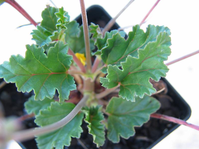 Pelargonium rodneyanum / Magenta Stork's Bill