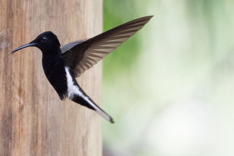 19-Sept Brazil Birds-6865.JPG