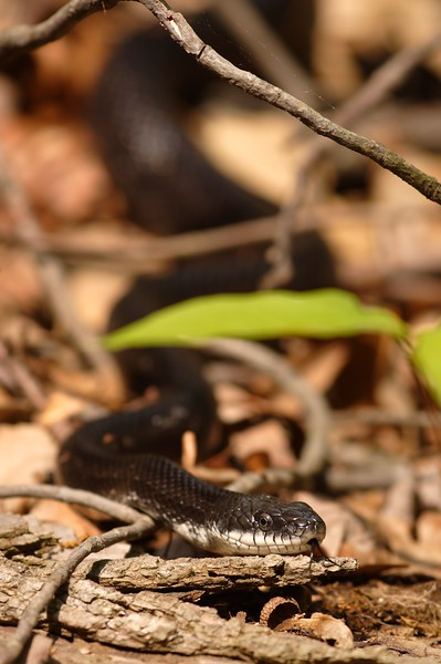 Eastern Ratsnake (Pantherophis alleghaniensis) searching for a meal in Newport News, VA. © 2006 Kenneth R. Sheide