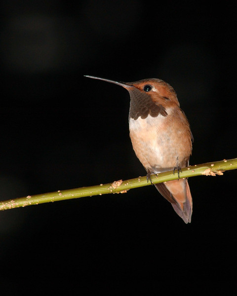 Male Rufous Hummingbird.  Hummers spend 80 % of there day perching so I place twigs near my feeders so they well perch where I can see them and they like it because they can guard the feeder from other hummers.  No lighted up background here, even though it was light out, the shutter and aperture settings make the background quite black.
