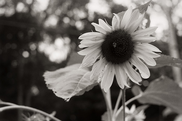 sunflower4